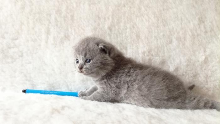 Ахилл британский котик1