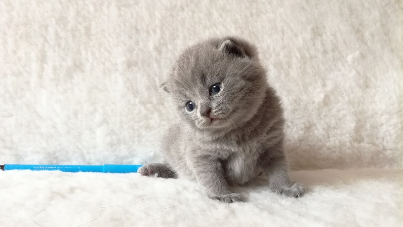 Ахилл британский котик4