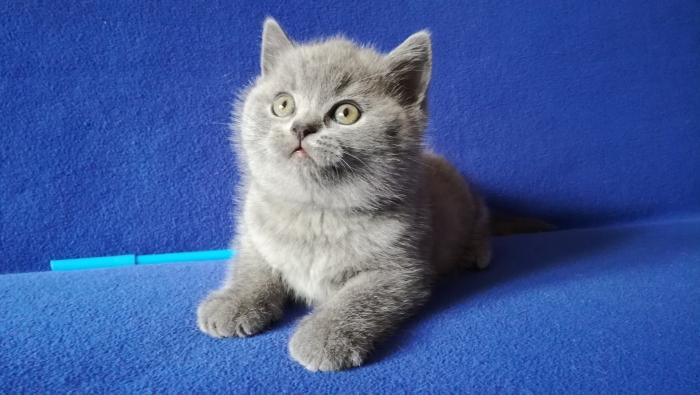 британский котик