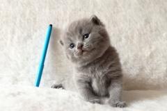 Ахилл британский котик3