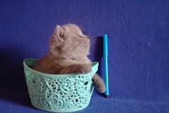 Ахилл британский котик