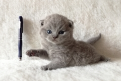 Артаксеркс британский котик2