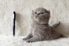 Артаксеркс британский котик4