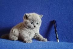 Артаксеркс британский котик
