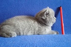 Артемида британская кошечка