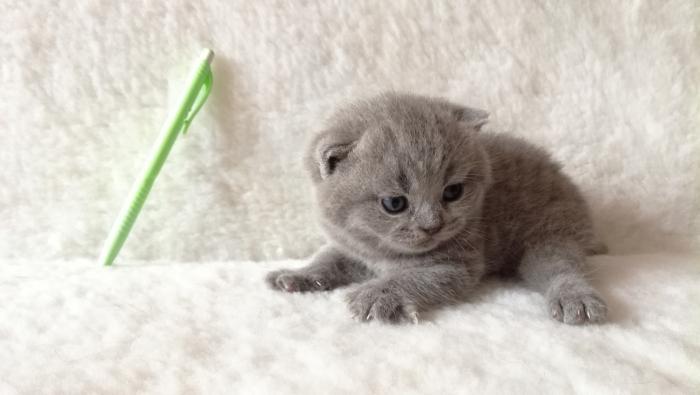 Аврелий британский котик1