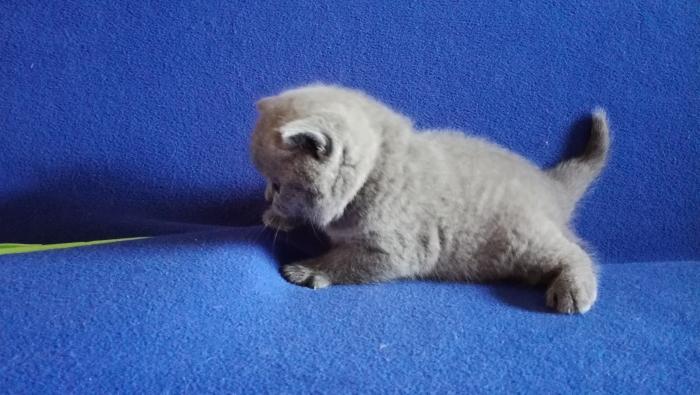 Аврелий британский котик