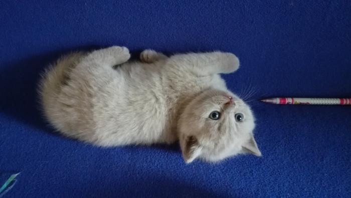 Аврора британская кошечка