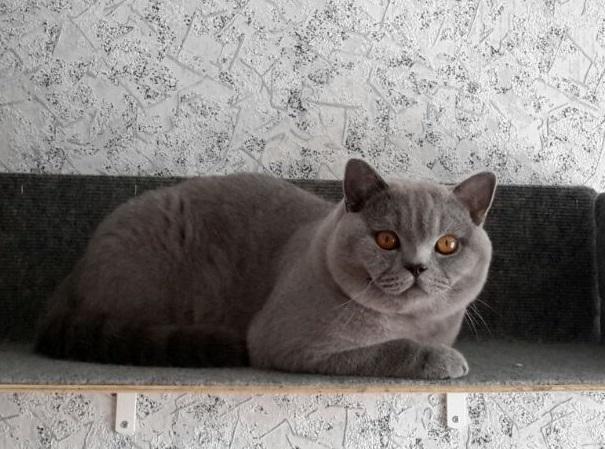 британский котик 10 мес_2