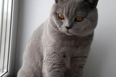 британский котик 10 мес_1