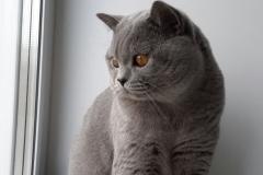 британский котик 10 мес_3