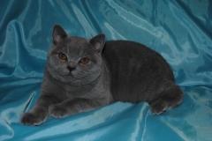 DSC_0821 британский котик