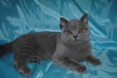 DSC_0828 британский котик