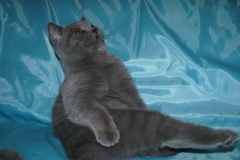 DSC_0836 британский котик