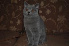 DSC_1823 британский котик