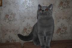 DSC_1828 британский котик