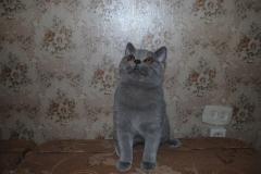 DSC_1838 британский котик