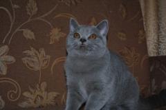 DSC_1872 британский котик