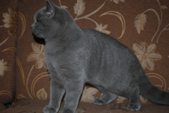 DSC_1881 британский котик