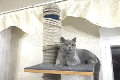 dav британский котик