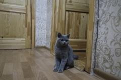 hdr британский котик