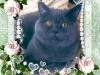 британский кот Босс открытка