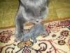 британский кот Босс мышка