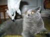 британский кот Босс мышка2