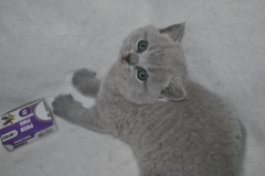 DSC_0926 Британский кот