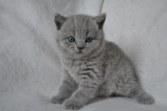 DSC_0788 Британский котик