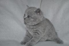 DSC_0790 Британский котик