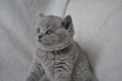 DSC_0794 Британский котик