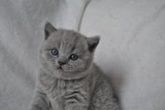 DSC_0795 Британский котик