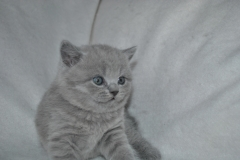 DSC_0796 Британский котик