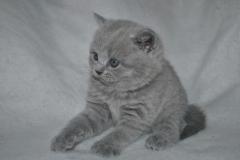 DSC_0798 Британский котик