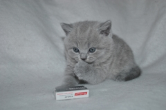 DSC_0803 Британский котик