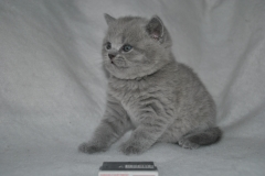 DSC_0805 Британский котик