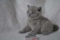 DSC_0807 Британский котик