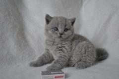 DSC_0810 Британский котик