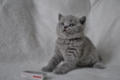 DSC_0811 Британский котик