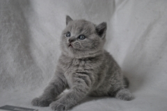 DSC_0812 Британский котик