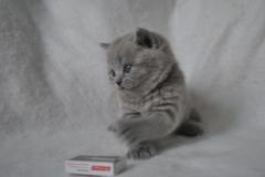 DSC_0813 Британский котик