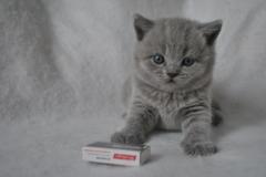 DSC_0815 Британский котик