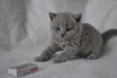 DSC_0817 Британский котик