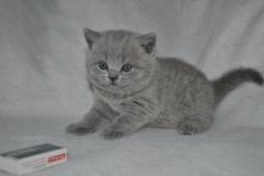 DSC_0818 Британский котик