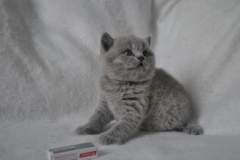 DSC_0822 Британский котик