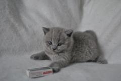 DSC_0823 Британский котик