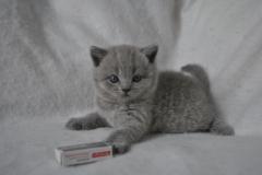 DSC_0824 Британский котик