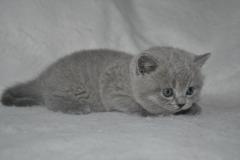 DSC_0012 Британский котик