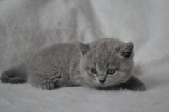 DSC_0013 Британский котик